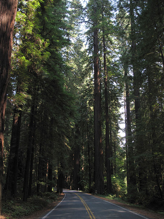 Redwoods, Avenue of the Giants