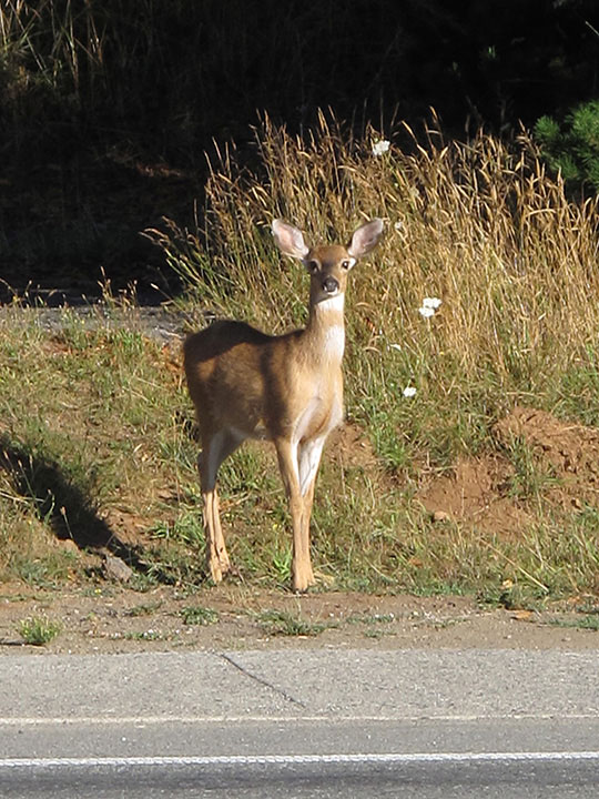 Gold Beach Deer